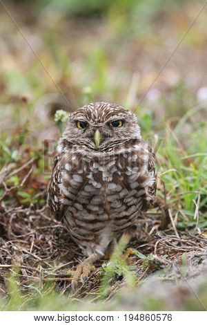 Burrowing Owl (athene cunicularia) by a nest hole in the Florida Everglades