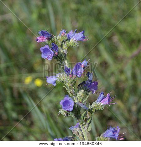 Viper's bugloss, blueweed Echium vulgare . Natural green background