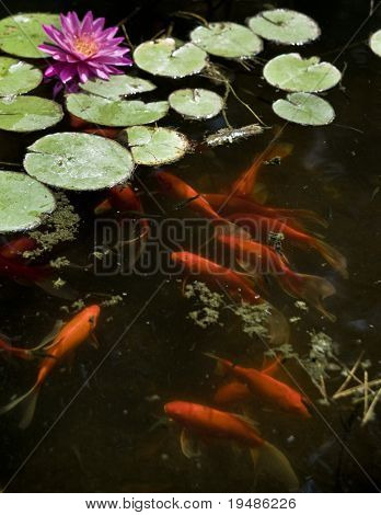 Koi or gold fish in a pond with a water lily poster