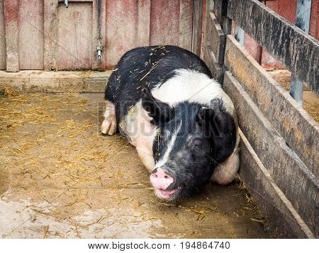 Black-and-White Sow Lying in Muddy, Enclosed Barnyard