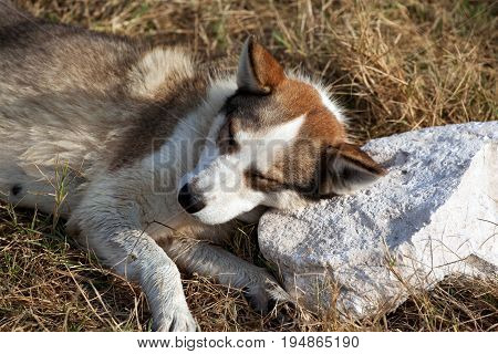 Homeless dog sleeping on stone pillow in sun summer evening