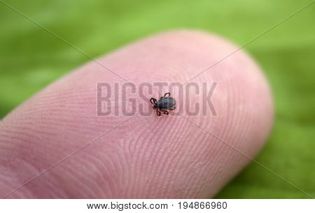 Small mite at the tip of a finger close up