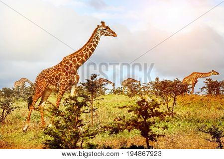 Group of Giraffes in the African savannah . Serengeti National Park . Tanzania.