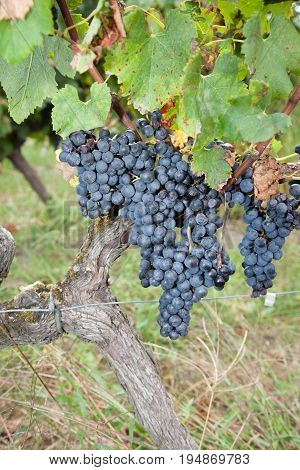 Large Bunches Of Red Wine Grapes Hang From A Vine