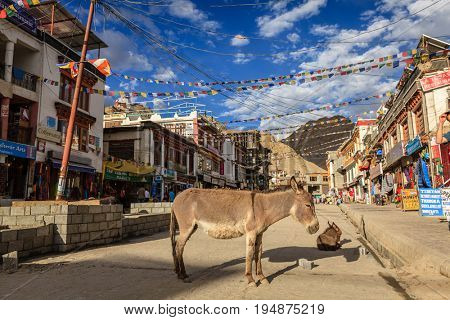 Leh, Ladakh, India, July 12, 2016: donkey standing in the middle of main shopping street in Leh, Ladakh district of Kashmir, India