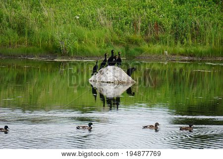 A flock of double crested cormorants (Phalacrocorax auritus) sits on a rock in a retention pond in Plainfield, Illinois, while mallard ducks (Anas platyrhynchos) swim by, during June.