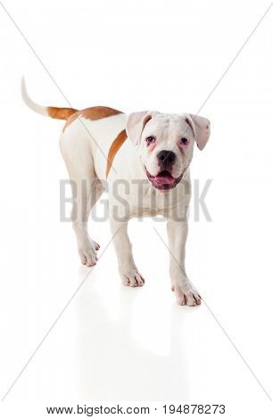 Cute American Bulldog isolated on white background