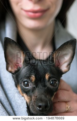 Dogs face closeup with loving owner on backdrop. Black Toy Terrier and woman with dark hair in selective focus