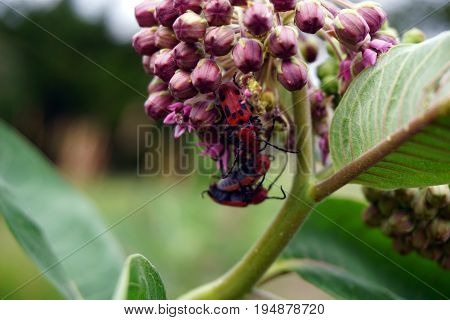 Red milkweed beetles (Tetraopes tetrophthalmus) climb and engage in coitus on the inflorescence of a common milkweed plant (Asclepias syriaca) during June in Plainfield, Illinois.