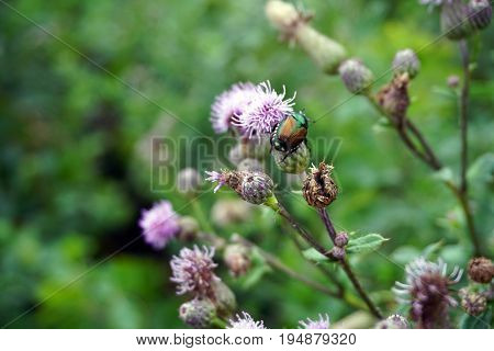 A Japanese beetle (Popillia japonica) climbs on a creeping thistle flower (Cirsium arvense), also known as the Canada thistle, in Plainfield, Illinois during June.