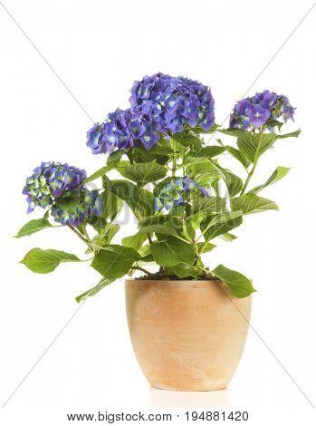 Potted blue Hydrangea shrub isolated on white background