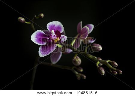 A brunch of Orchid with some buds and flowers on black background