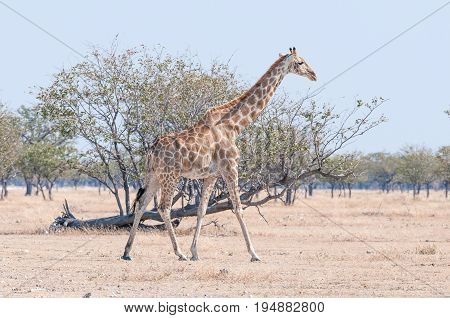 A Namibian giraffe giraffa camelopardalis angolensis walking in the Northern part of Namibia