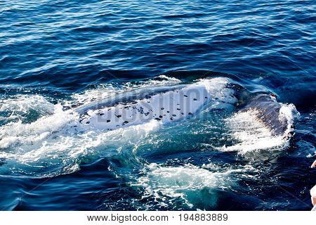 Humpback Whale Rolling In Water On Surface