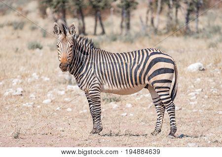 A Hartmann Mountain Zebra Equus zebra hartmannae looking towards the camera