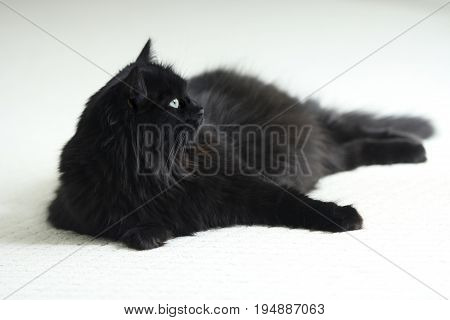 A long hair regal black cat with green eyes on white carpet.
