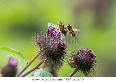 Honey bees (Apis mellifera) fighting over flower. Insects wrestle in flight when a competitor lands on an flower with a bee already on it