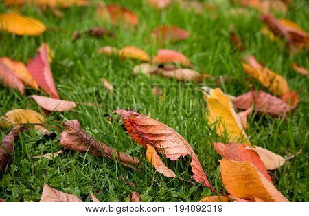 Colorful autumn leaves fallen on green grass