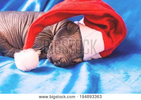 Newborn dog Mexican xoloitzcuintle puppies one week old sleeping on a blue headband in a Christmas hat. A place for writing letters. Postcard.