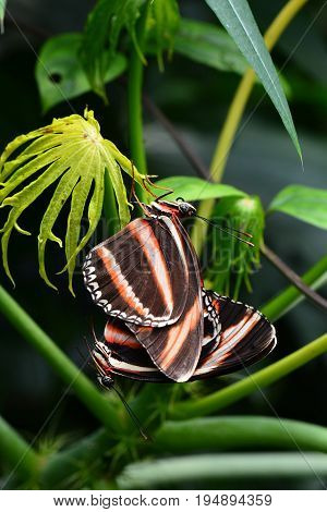 A pair of tiger longwing butterflies mate in the gardens keeping the cycle alive.