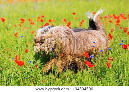 Bearded Collie Runs Through A Poppy Field