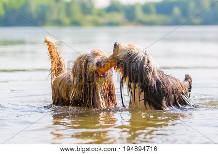 Two Bearded Collies Playing In A Lake