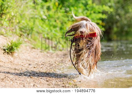 Bearded Collie Runs With A Toy In The Snout