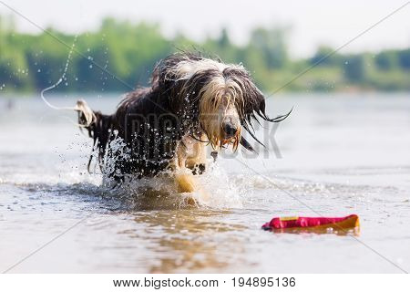Bearded Collie Running Through A Lake