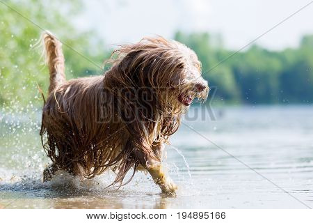 Bearded Collie Walking Through The Water
