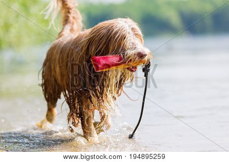 Bearded Collie With Treat Bag Walks In Lake