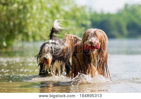 Bearded Collies In A Lake