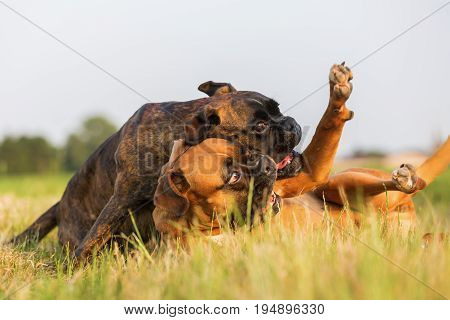 Two Boxer Dogs Scuffle On The Meadow
