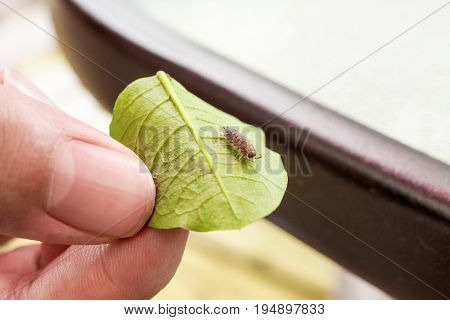 Hand holing a leaf with a woodlouse pill bug crawling on it environment and insect education concept