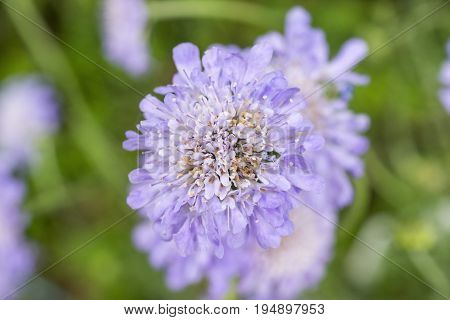 Light Pastel Violet Pin Cushion Flowers In Soft Green Garden Background