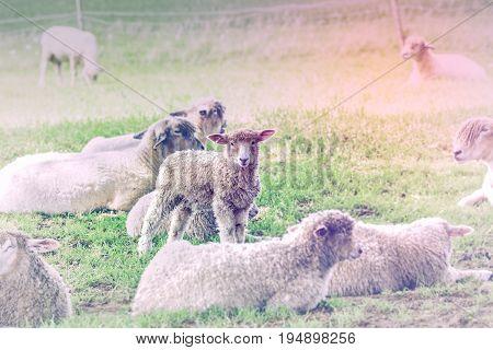 Little Curious Lamb in Herd Grazing on Fresh Green Grass