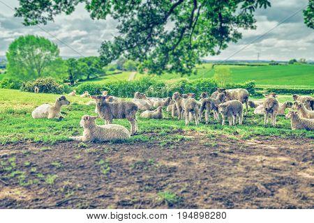 Herd of Sheep Grazing on Fresh Green Pastures in UK