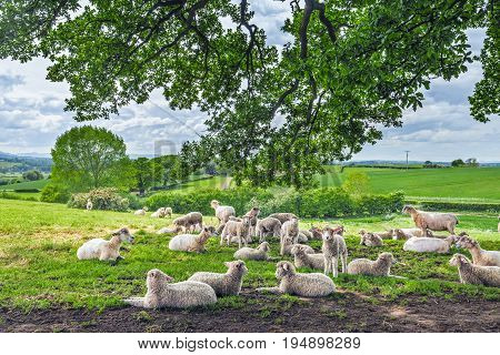 Herd of Sheep Chilling Under a Shadow of Tree Branches