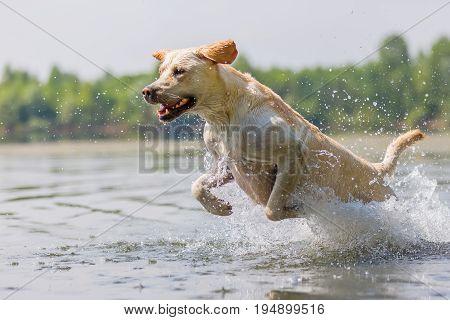 Labrador Dog Runs Through The Water