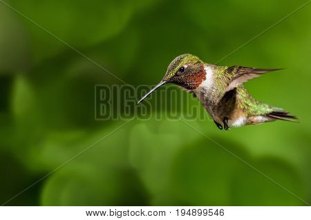 Ruby throated hummingbird hovering and preparing for a drink of nectar.
