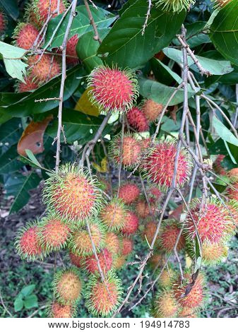 Fresh Rambutan On The Tree In Orchard. In The Eastern Region Of Thailand.