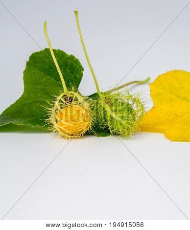 Coccinia Grandis Gold in the Garden is ivy a kind of herb and vegetables can be cooked in many ways.