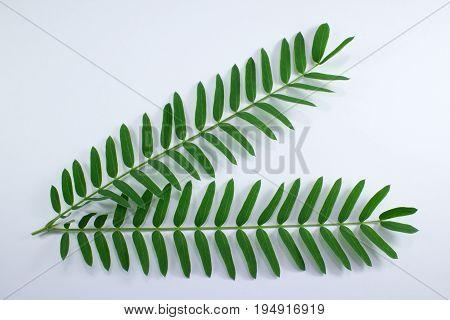 Horse Tamarind Tree Or White Popinac Wildflowers Isolated