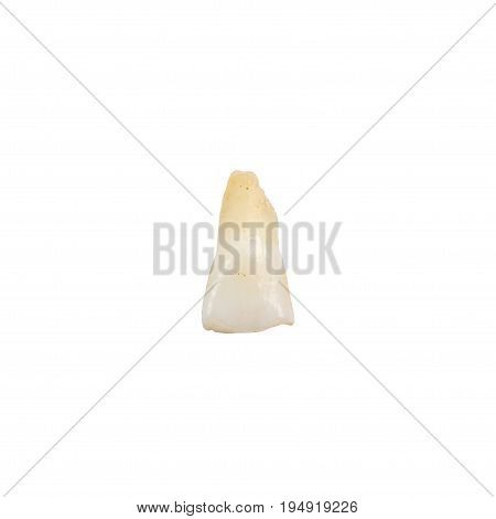 Primaty Incisor Tooth