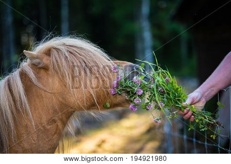 Small Shetland horse eating clover from hand
