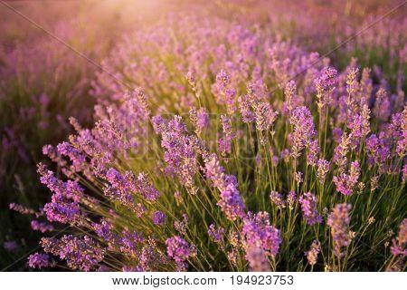Bush of lavender. Nature composition.