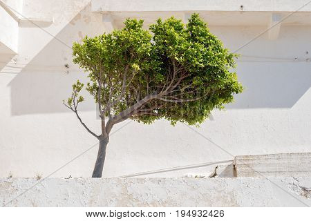 Green tree bent by the prevailing wind, white stucco wall background