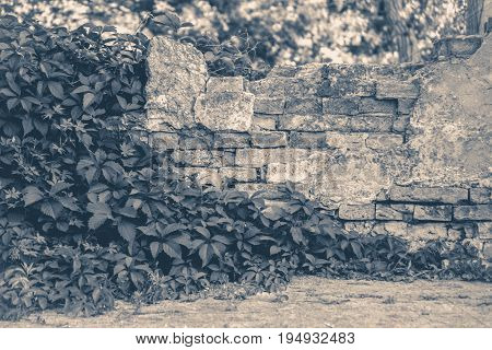 Old vintage photo. Wall brick ivy twisted copy spase copy space