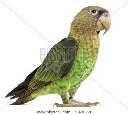 Cape Parrot, Poicephalus robustus, 1 year old, in front of white background
