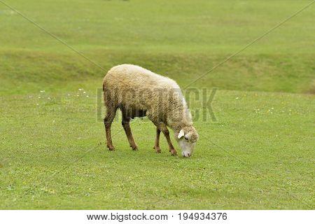 Sheep Grazing Fresh Green Grass in Himalayan Hills