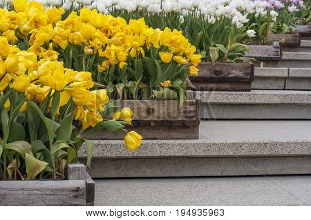 Yellow and white tulips in crates are on the modern stairway